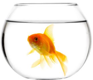 Pesci rossi nella vasca