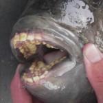 dentatura-curiosa