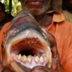 pacu-piranha-che-mangia-i-testicoli-1