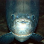 pacu-piranha-che-mangia-i-testicoli-4