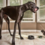 Ecco Zeus, il cane più alto del mondo