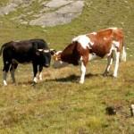 Ci sono due recinti in uno c'è un toro e nell'altro una mucca