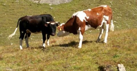 Ci sono due recinti in uno c'è un toro e nell'altro una mucca.