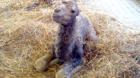 Un cammellino curioso chiede alla mamma: