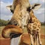 Ci sono tre animali una giraffa, una gallina e un elefante.