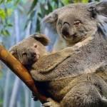 Lo sapevi che i koala maschi hanno un pene biforcuto mentre le koala femmina hanno due vagine?