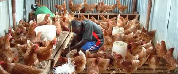 Il proprietario di un pollaio dopo tanti mesi si decide