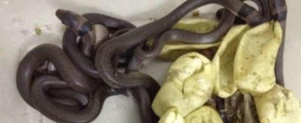 Bimbo porta a casa uova e le nasconde, nascono 7 serpenti dal veleno mortale
