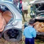 MALESIA: Ladri rubano 4 mucche e le mettono nel bagagliaio di un' automobile
