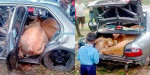 cows_in_boot_7ef746afb5ea0b90dbb84cee071a3d23