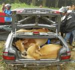 vacas-cajuela