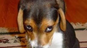 Cani colpevoli: ecco come reagiscono quando vengono scoperti