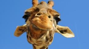 Un carabiniere ferma un uomo che passeggia per la città con una giraffa…