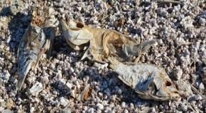Salton, il lago morto della California con una distesa di milioni di ossa di pesci morti